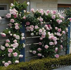 Pierre de ronsard for Pierre de ronsard rosa